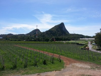 Vineyard near to Buddha Mountain (Khao Chi Chan)
