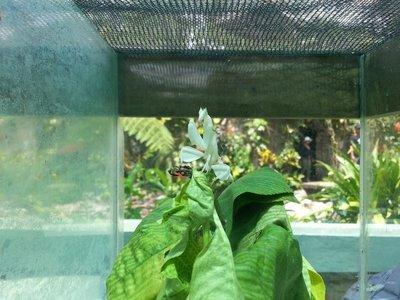 Hymenophus orchid mantis