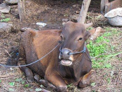 Balinese cattle