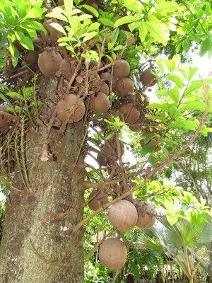 Coconuts?