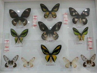 Ornithoptera & Cressida