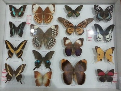 Papilio & Nymphalidae