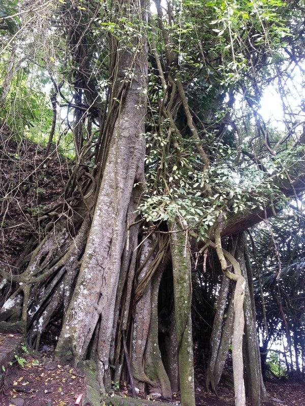 Mayan tree