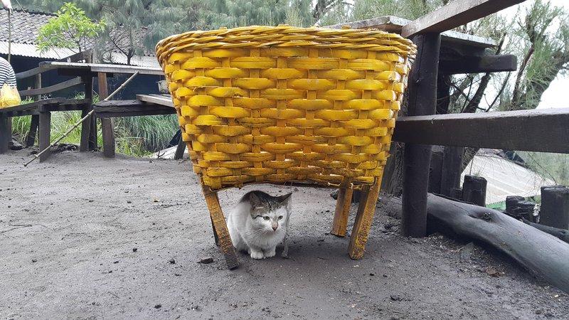 Ijen cat