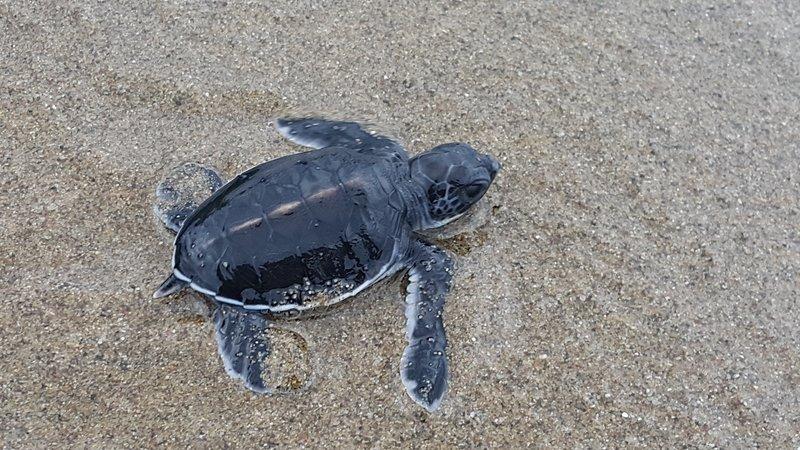 Baby geen turtle