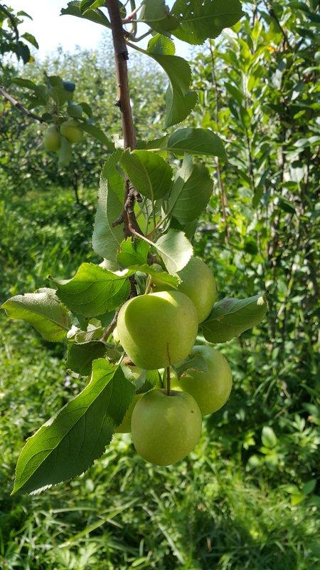 Batu apples