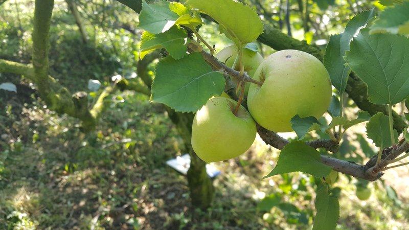 Batu apple