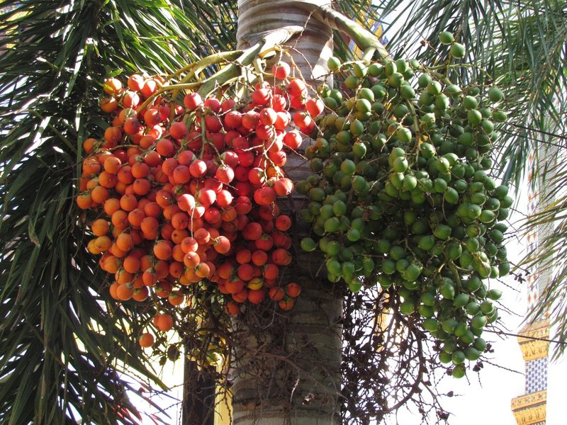 Palm fruits