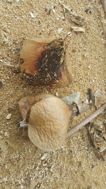Dried pods