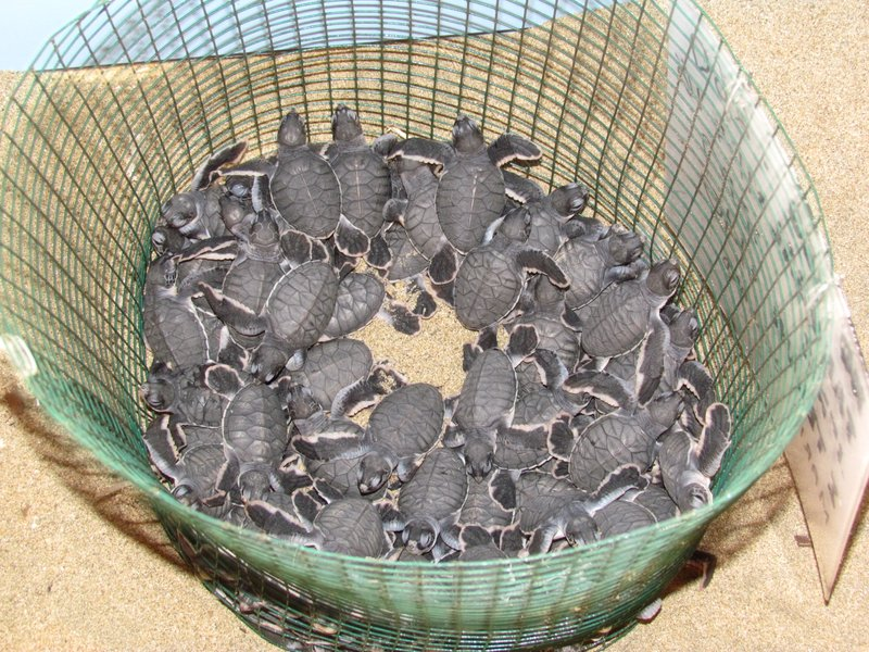 Newly hatched baby green turtles
