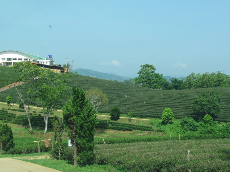 Choui Fong tea farm
