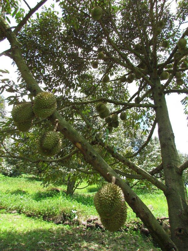 Monthong durians