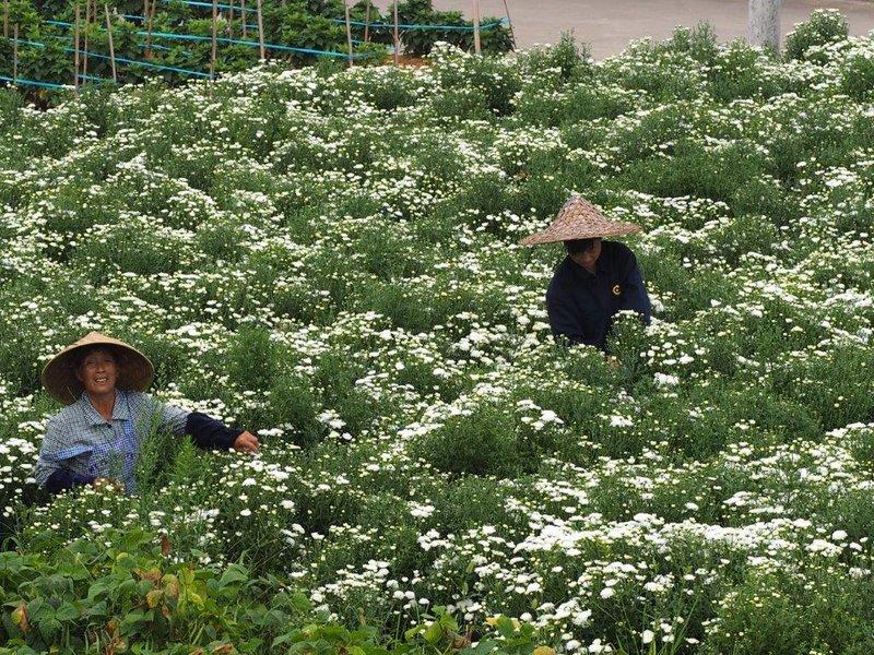 Picking chrysanthamums for tea