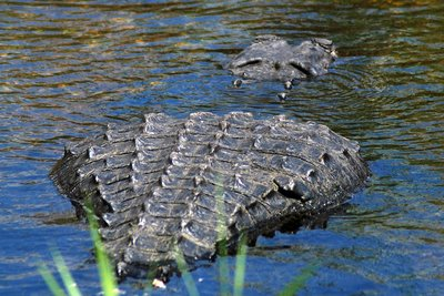 Everglades, Stepping Stone?