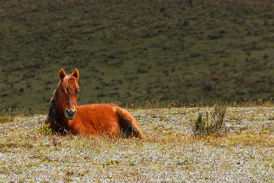 wild horses in the Cotopaxi National Park