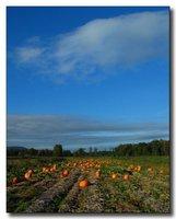 pumpkin fields forever