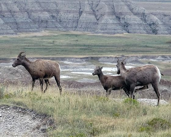 Big Horn Sheep, Badlands Nat'l Park, SD, US 2015 - Badlands National Park