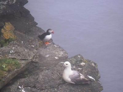 Puffin and gull - Orkney