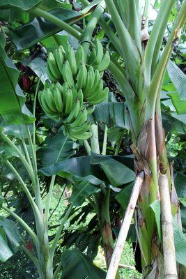 Plantains or bananas - Saint John