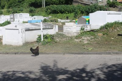 Chicken crossing the road to Grand Anse Cemetery - Grenada