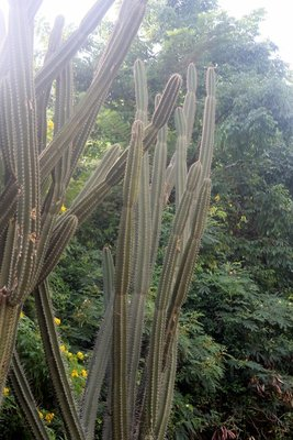 Pipe cactus near our hotel