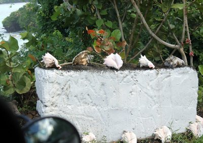 conch shells on a wall