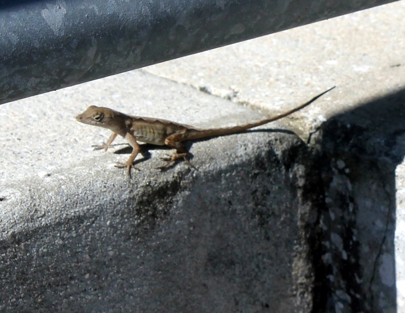One of the lizards on the handicapped ramp
