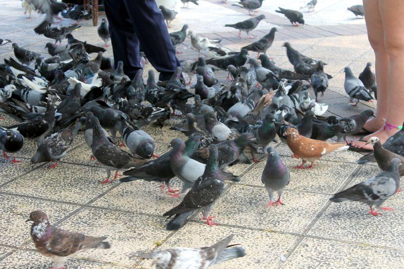 Pigeons on the ground - Puerto Plata