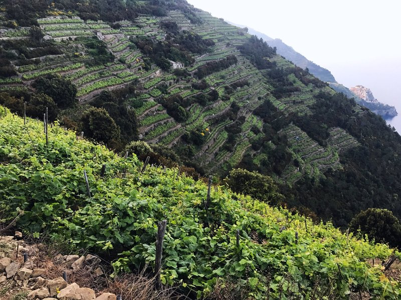 Terraced Wine grove