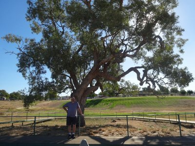 Coolabah Tree marked by searchers for Burke & Wills