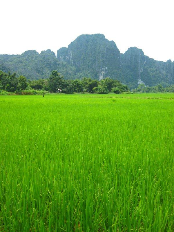 Lush Green Rice Paddies - Vang Vieng