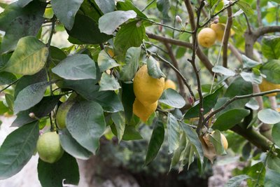 Growth production of the lemon