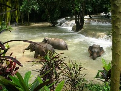 Elephants Bathing in the jungle Water fall