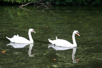 Swans at Saint James's Park