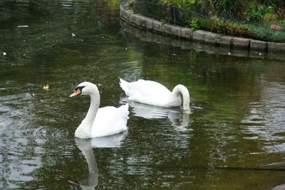 Swans at Saint James's Park
