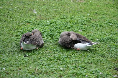 Ducks at Saint James's Park