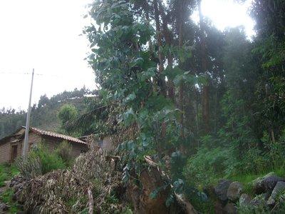 An Ecalypthus tree