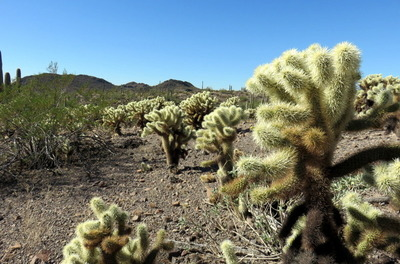 Field of Cholla