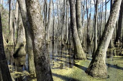 Cypress Swamp Visions