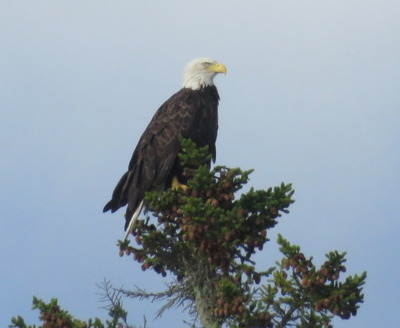 First Bald Eagle Sighting