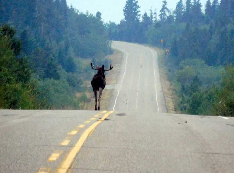 Moose Leading the Way