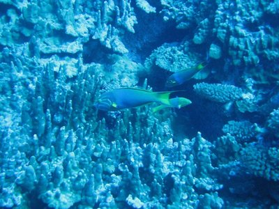 041617113800 Diving Easter Island  fish