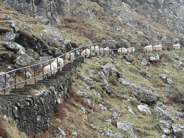 Sheep Ascending