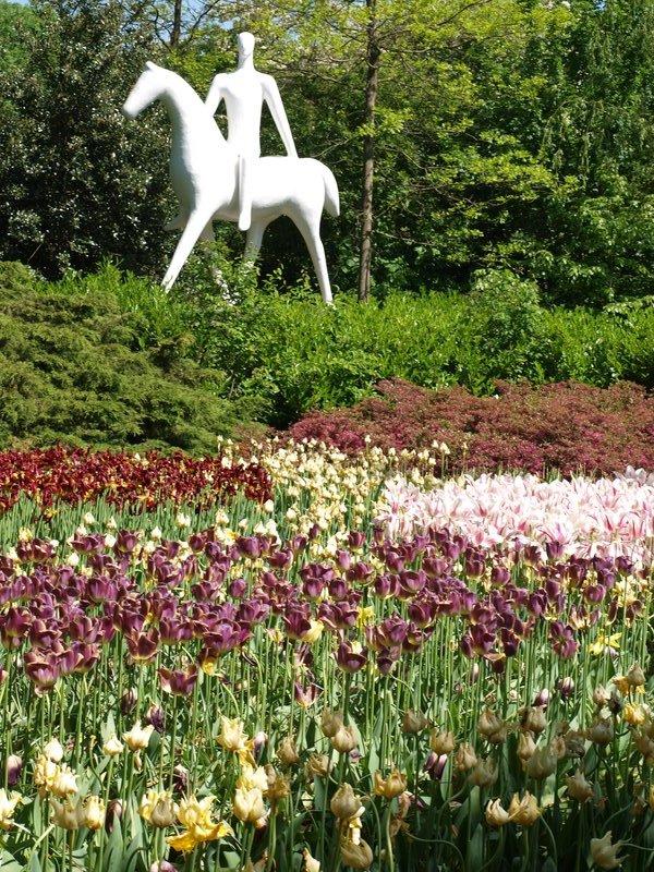 More purple tulips