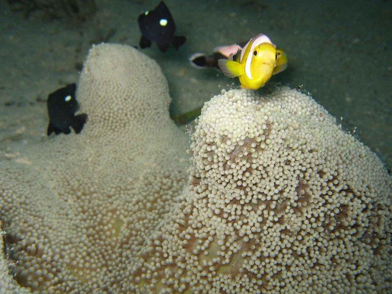 GD_anemone_fish3