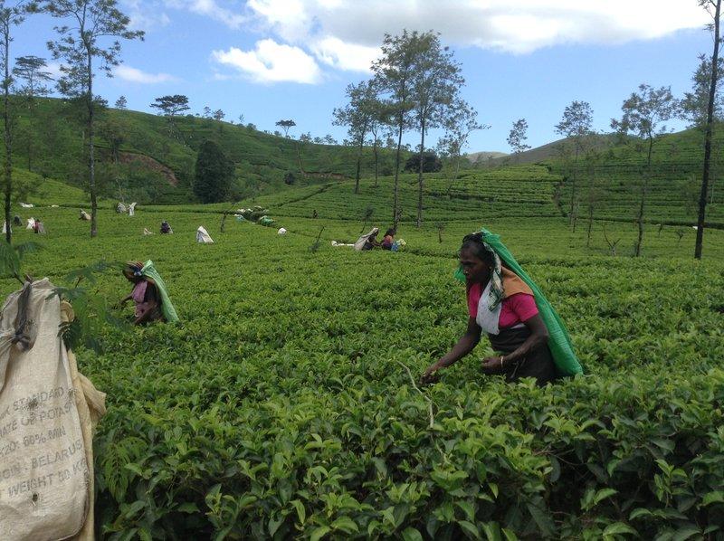 tea picking