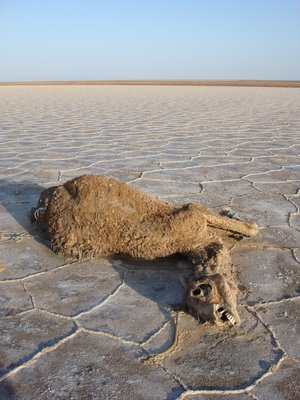 Dead Camel