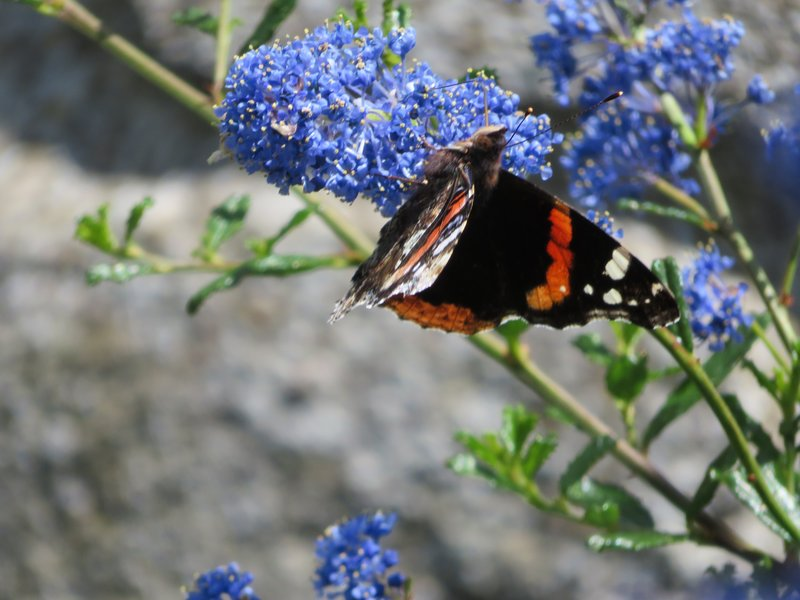 IMG_1117 Ceonothus with butterfly