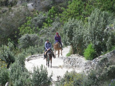 Riding mules