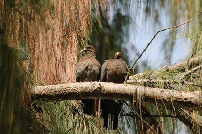 Barbados Wild Pigeon